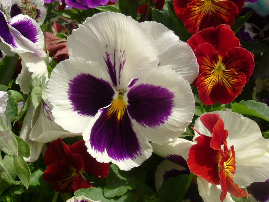 Plants, Flowers, Pansies