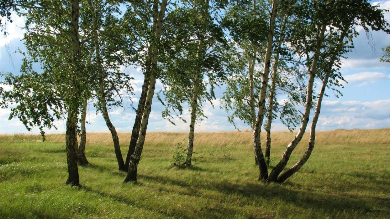 Birches,Landscape,Nature