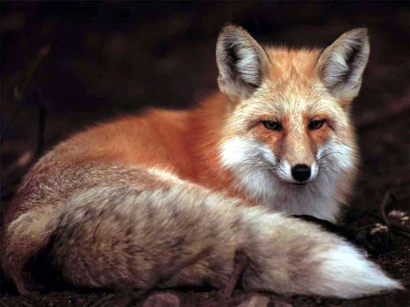 Fox,Animals