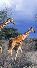 Nature,Giraffes,Animals