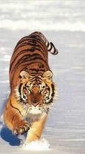 Tigers,Animals,Winter