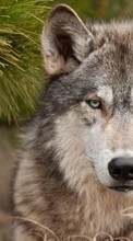 Handy-wallpaper kostenlose Wolfs,Animals