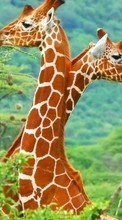 Giraffes,Animals