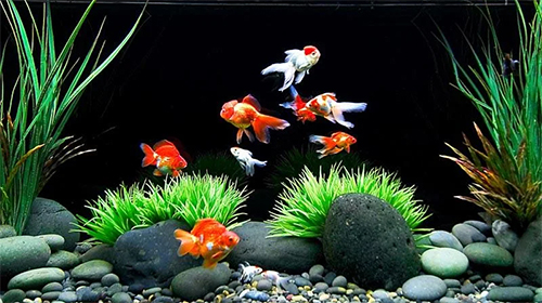 Download Aquarien Live Wallpaper Goldfish für Android kostenlos.