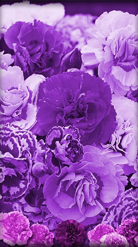 Download Blumen Live Wallpaper Purple flowers für Android kostenlos.
