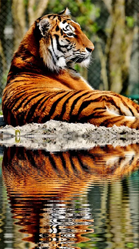 Kostenlos Live Wallpaper Tigers by Live Wallpaper HD 3D für Android Smartphones und Tablets downloaden.