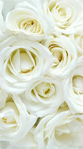 Kostenlos Live Wallpaper White rose by HQ Awesome Live Wallpaper für Android Smartphones und Tablets downloaden.