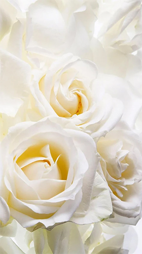 Bildschirm screenshot White rose by HQ Awesome Live Wallpaper für Handys und Tablets.