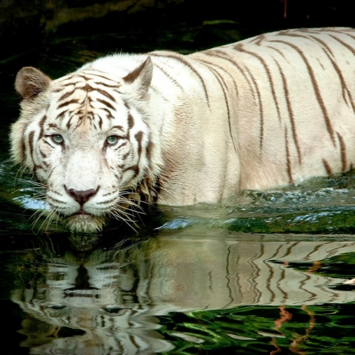 White tiger: Water touch