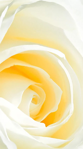 White rose by HQ Awesome Live Wallpaper