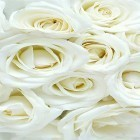 Live Wallpaper White rose by HQ Awesome Live Wallpaper apk auf den Desktop deines Smartphones oder Tablets downloaden.